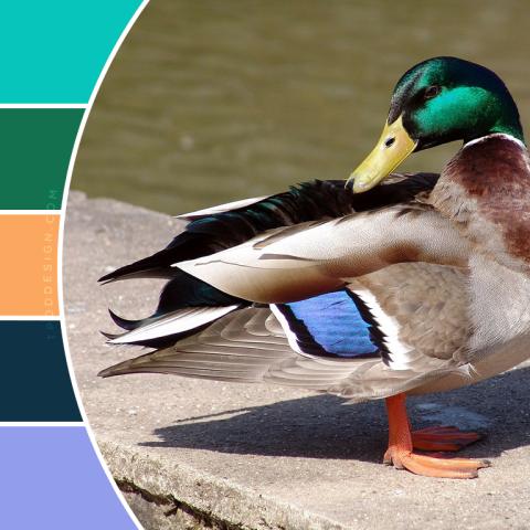 Duck color schemes