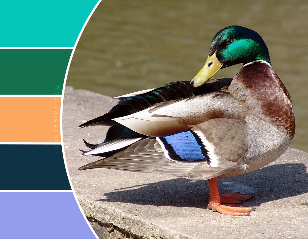 Duck color schemes