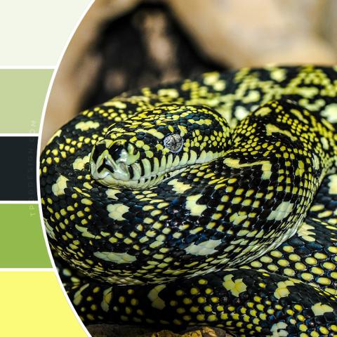Snake color schemes